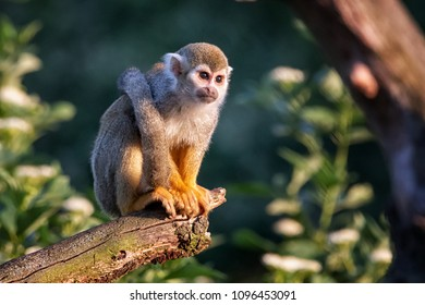 Common Squirrel Monkey on a branch in the rainforest. (Saimiri sciureus)