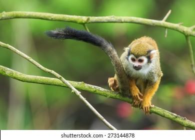Common squirrel monkey on the tree