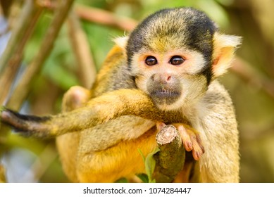 Common squirrel monkey (Saimiri sciureus), a small New World monkey of the Cebidae monkey family. monkey laying relaxed on tree branch. Lives in Brazil, Colombia, Peru, Ecuador, French Guiana, Guyana