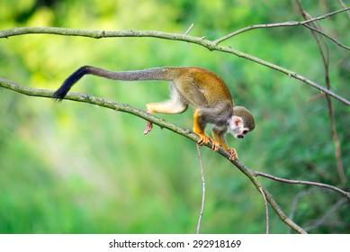 Common squirrel monkey (Saimiri sciureus) walking on a tree branch