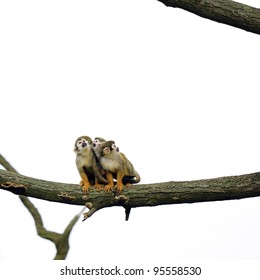 Common Squirrel Monkeys sitting on a branch