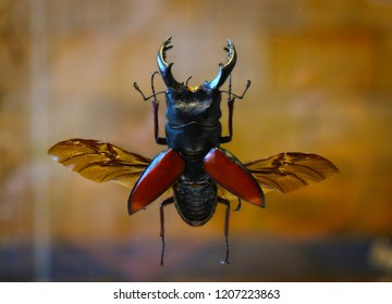 The common stag beetle / coleoptera, the exsiccatae body with opened wings. Close-up view.
