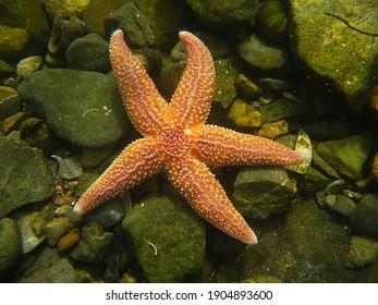 Common Starfish, Asterias rubens. Taken Torbay, England.