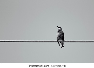 Common starling on a wire.