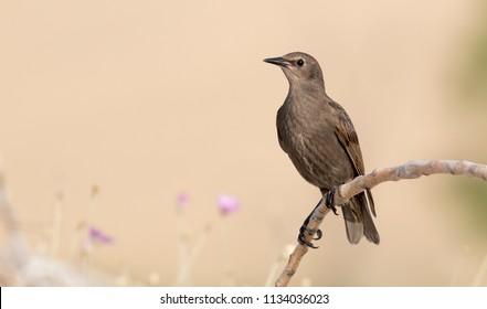 Common starling posing
