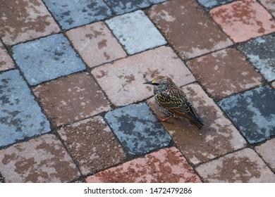 The common starling (Sturnus vulgaris) or the European starling in Reykjavik, Iceland. Birds of Iceland