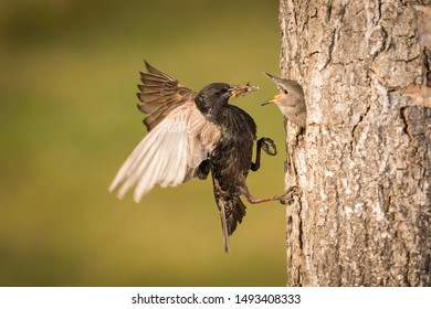 The Common Starling, Sturnus vulgaris is flying with some insect to feed its chick, the young bird is opening its beak to be feeded, pretty golden light, green background