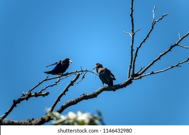 The common starling (Sturnus vulgaris). Starling parent feeding nestling