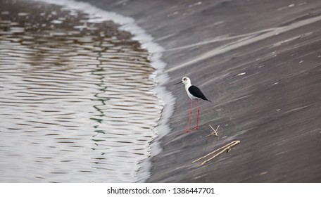 Common stilt at the edge of the water. Himantopus himantopus.