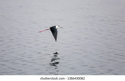 Common stilt in flight. Himantopus himantopus.