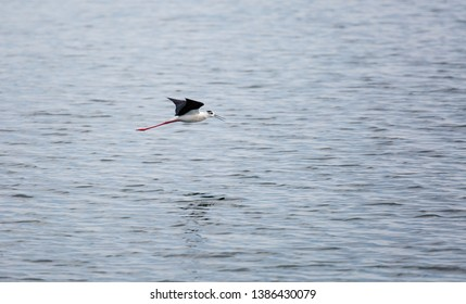 Common stilt in flight over the waters of the reservoir. Himantopus himantopus.