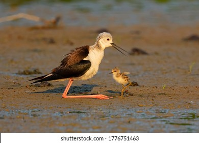 common stilt welcomes under his wings his chicks to protect them