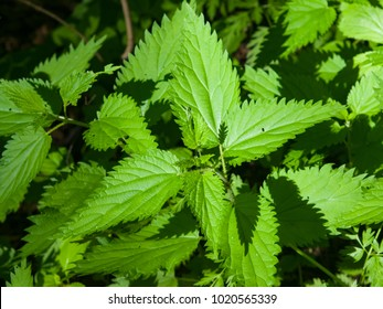 Common or Stinging Nettle, Urtica dioica, small plant macro, selective focus, shallow DOF.