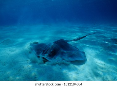 Common stingray in Cayman islands