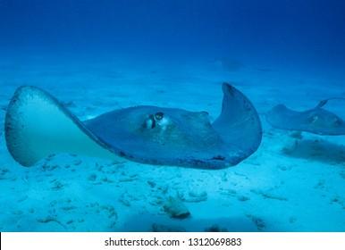 Common stingray in sea of Cayman Islands