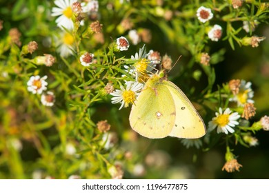 Common Sulphur Butterfly collecting nectar from tiny white flowers. Humber Bay Park, Toronto, Ontario, Canada.