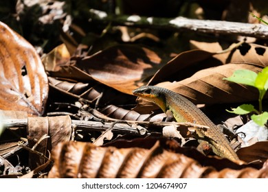 Common sun skink (Eutropis multifasciata) resting on forest floor. Sun bathing in ray of light coming through jungle canopy and hitting rainforest plants.