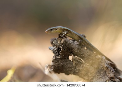 Common sun skink (Eutropis multifasciata), Indonesia