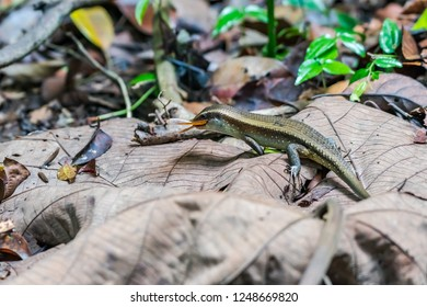 Common sun skink spotted in Singapore
