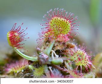 Common sundew (Drosera rotundifolia)