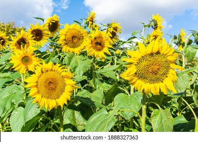 Common sunflower (Helianthus annuus) in France. Common sunflower is a large annual forb of the genus Helianthus grown as a crop for its edible oil and edible fruits.