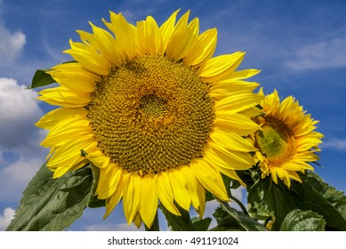 Common Sunflower (Helianthus annuus) in garden, Moscow region, Russia