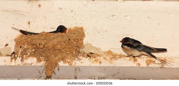 Common Swallows nest with the female incubating the eggs and the male side. Hirundo rustica