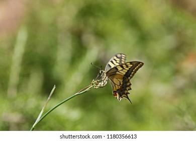 Common swallowtail butterfly Latin papilio machaon feeding in mid flight on wild fennel flower Latin feniculum vulgare or foeniculum vulgare in summer in Italy