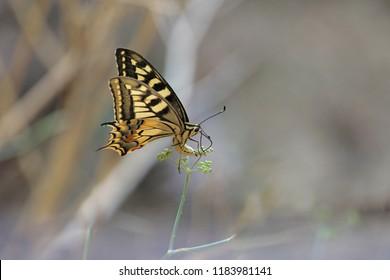Common swallowtail butterfly Latin papilio machaon feeding on wild fennel flower Latin feniculum vulgare or foeniculum vulgare in summer in Italy