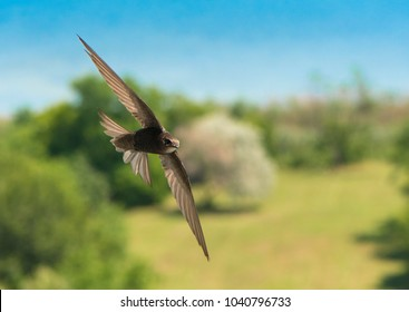 Common swift (Apus apus) in flight  with soft background of the city park and part of the lake on a sunny summer day.
