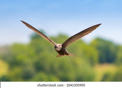 Common swift (Apus apus) in flight with soft background of the city park on a sunny summer day. One of the fastest birds on Earth.