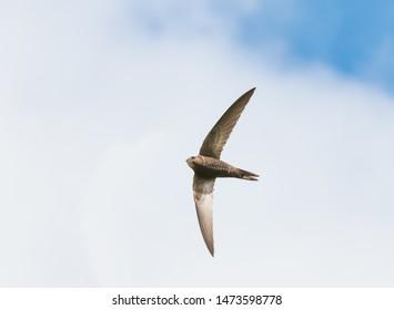 common swift - apus apus - flying against clouds
