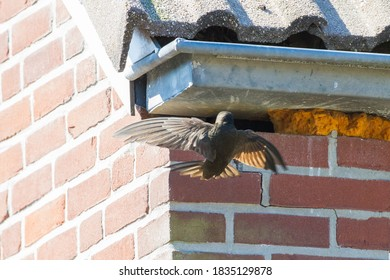Common Swift, Apus apus. Wildlife and nature image from the Netherlands.