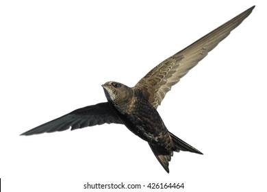 Common Swift in flight isolated on white.