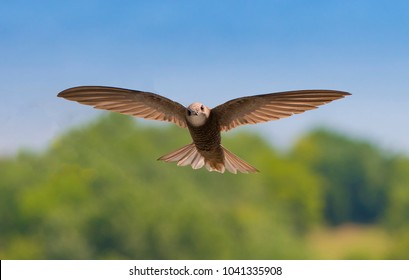 Common swift in flight with soft background of the city park on a sunny summer day.