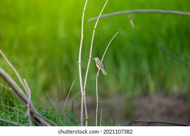 Common Tailorbird, Orthotomus sutorius, perching on branch.