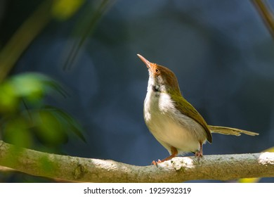 The common tailorbird (Orthotomus sutorius) is a songbird found across tropical Asia.