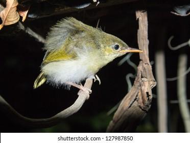 Common Tailorbird (Orthotomus sutorius)in the night,Thailand