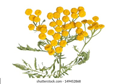 Common tansy isolated on white
