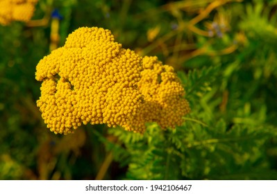 Common tansy (Tanacetum vulgare) is a perennial perennial flower. It is now considered invasive in North America, but was once an important medicinal and culinary plant in Europe.