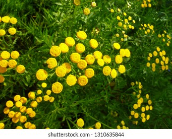 Common Tansy yellow flowers (Tanacetum vulgare, Common Tansy, Bitter Buttons, Cow Bitter, Mugwort, Golden Buttons). Blooming plant of Tansy.