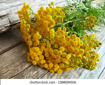 Common Tansy yellow flowers (Tanacetum vulgare, Common Tansy, Bitter Buttons, Cow Bitter, Mugwort, Golden Buttons). Blooming plant of Tansy. Selective focus.