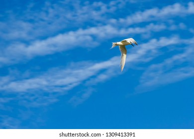 Common tern or charran, Sterna hirundo, flying in blue sky background