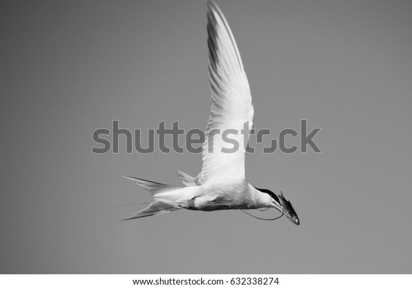 Common Tern in flight with caught fish in beak