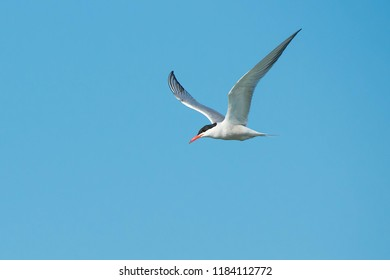 A Common Tern flying across a clear blue sky. Hanlan's Point, Toronto, Ontario, Canada.