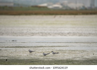 Common Tern at Ireland