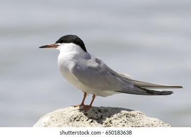 common tern in natural habitat / Sterna hirundo