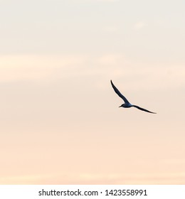 Common Tern, Sterna hirundo, in beautiful flight by a colored sky at twilight time