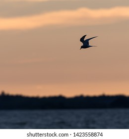Common Tern, Sterna hirundo,  fishing by twilight time in a blue water
