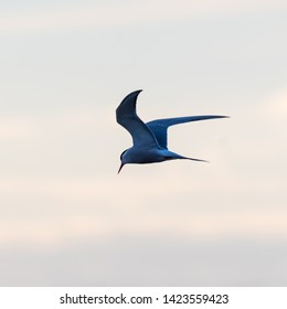 Common Tern, Sterna hirundo, in graceful fishing flight by a colored sky at twilight time
